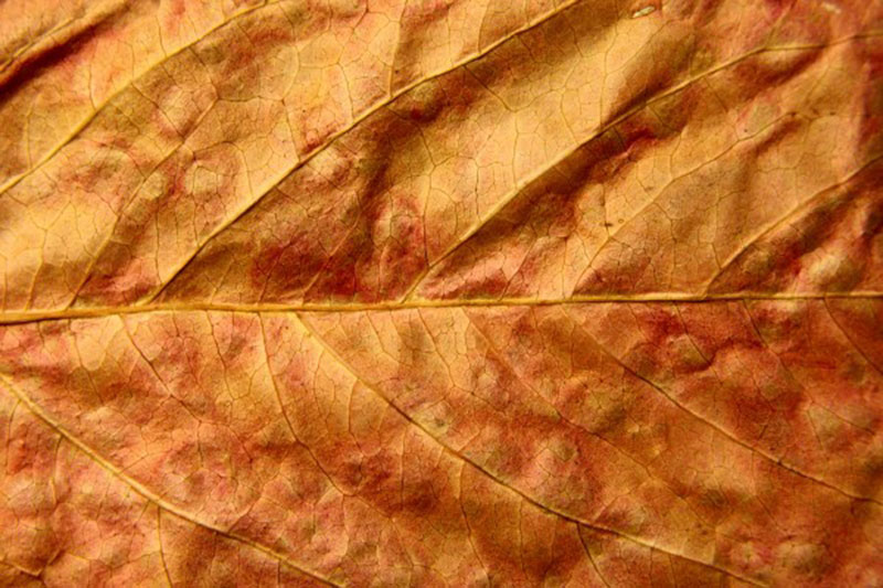 Dried-Fall-Leaf-Close-Up-Texture-Observe-every-vein Fall background images to use in your projects