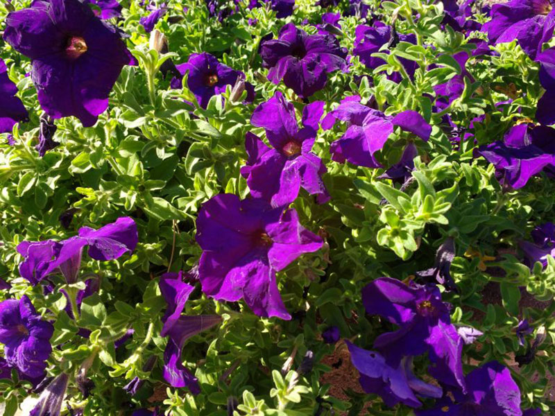 Purple-Petunias-Summer-decoration Purple background images and textures you can use in your work